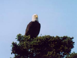a bald eagle looking over his nest