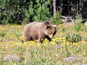 a grizzly enjoys the first dandelions of spring
