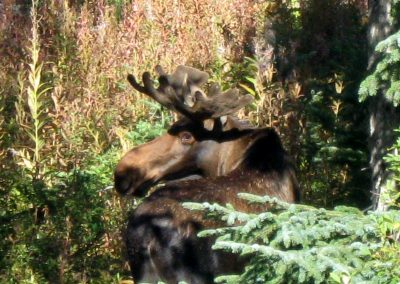 Young Moose Bull
