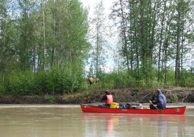 DSCF9301-yukon-moose-by-river